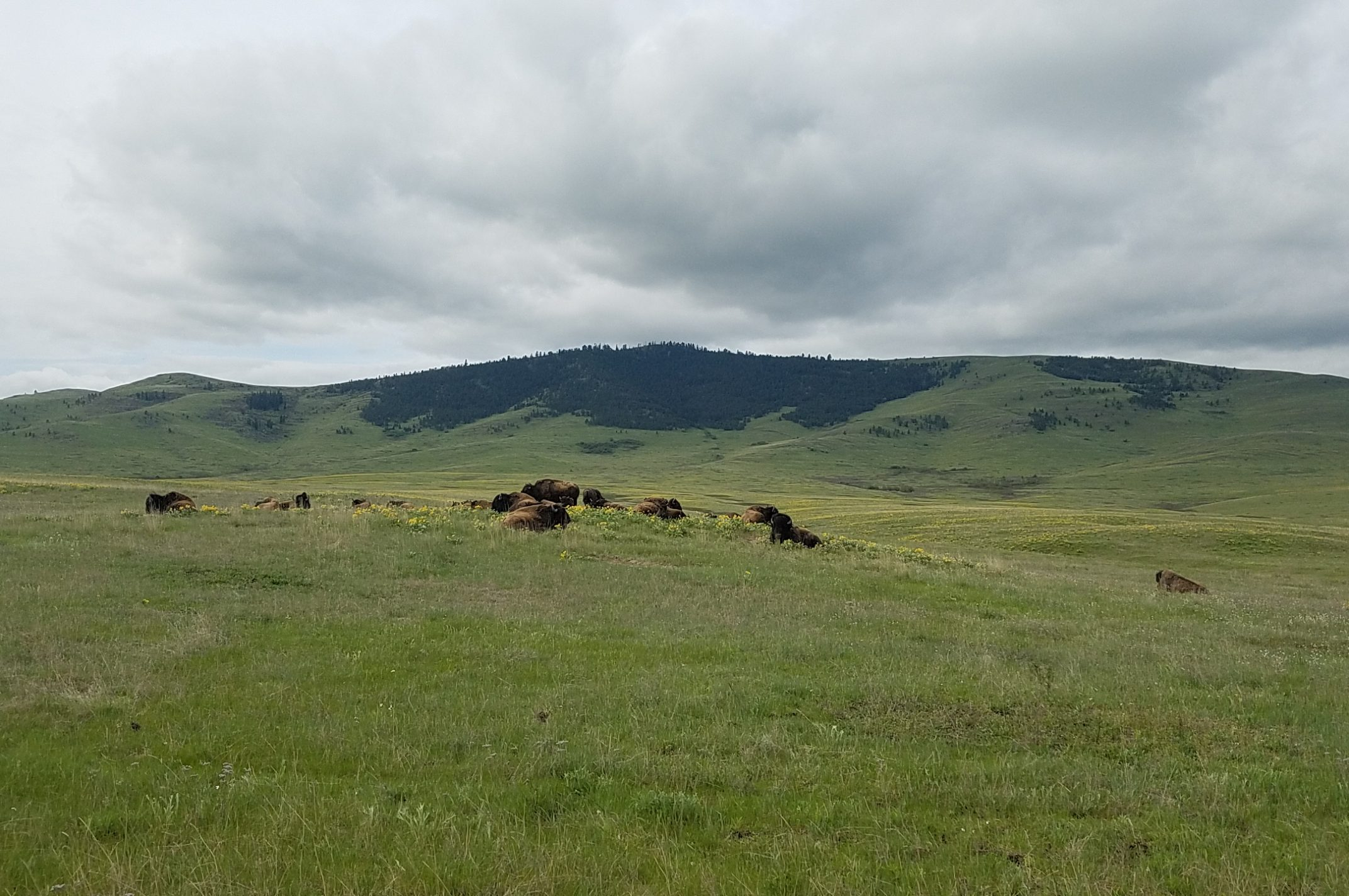 Bison Herd & Arrowleaf Balsamroot