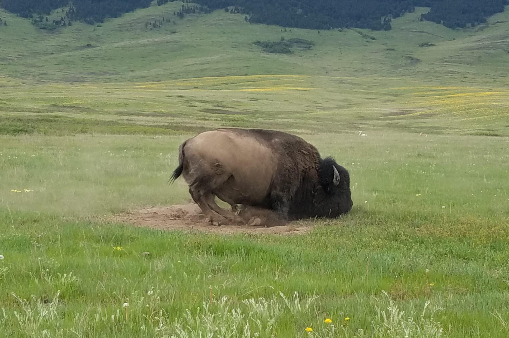Bison Dirt Bath