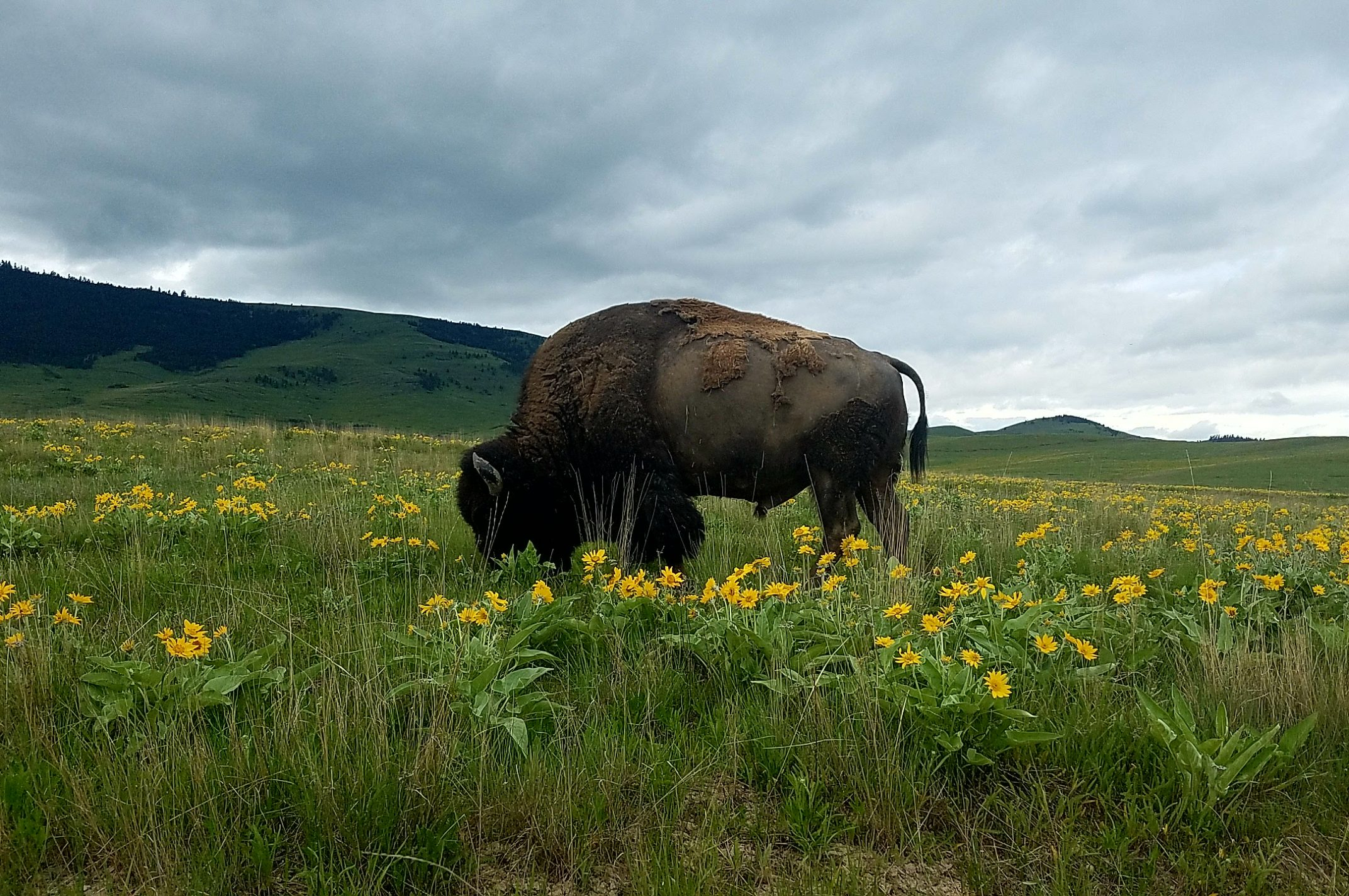 Bison Bull & Arrowleaf Balsamroot