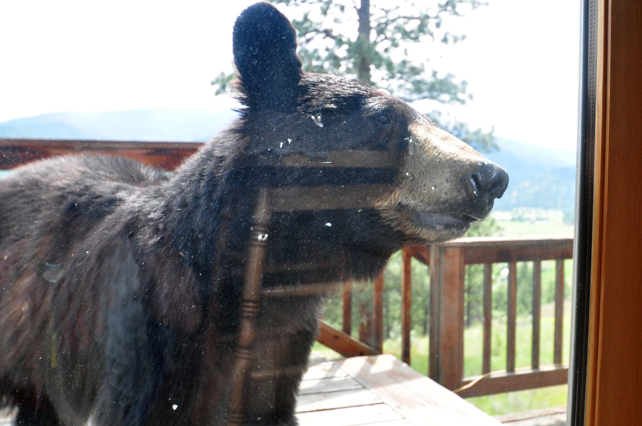 Black Bear at the Door